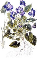 Violette de Parme