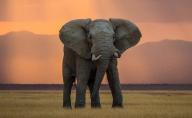 Namibie et Zimbabwe: interdits de vendre leur ivoire