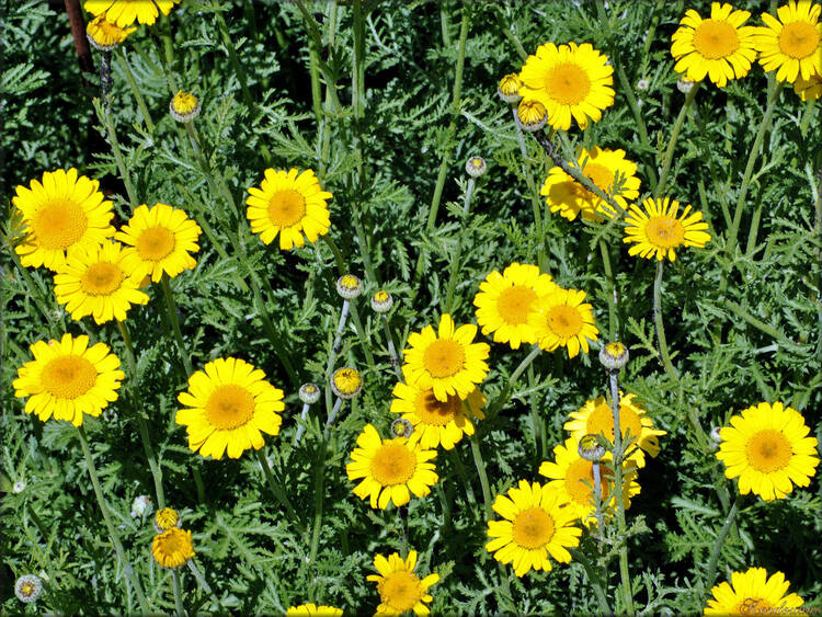 Photo d'Anthemis (Roseraie des Sables d'Olonne)