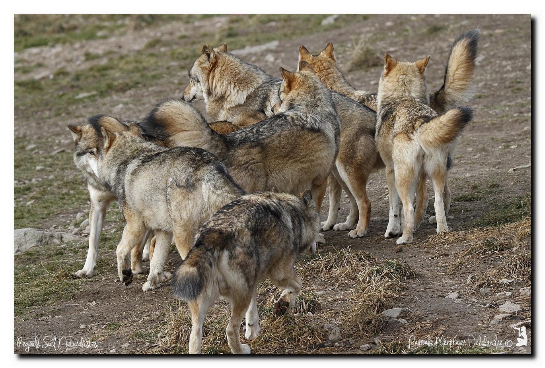 Loups de Sibérie en meute