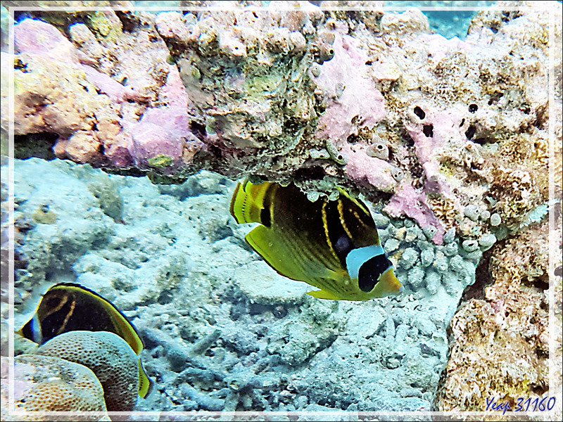 Poisson-papillon raton laveur, Chétodon à croissant, Chétodon rayé, Chapeau de sorcière,  Raccoon butterflyfish (Chaetodon lunula) - Snorkeling à Moofushi - Atoll d'Ari - Maldives