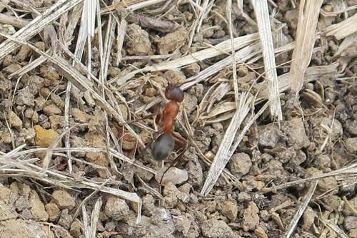 formica sp