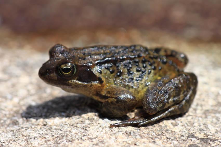 la grenouille rousse des montagnes