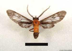 Holophaea