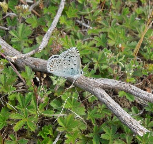 Un papillon azuré