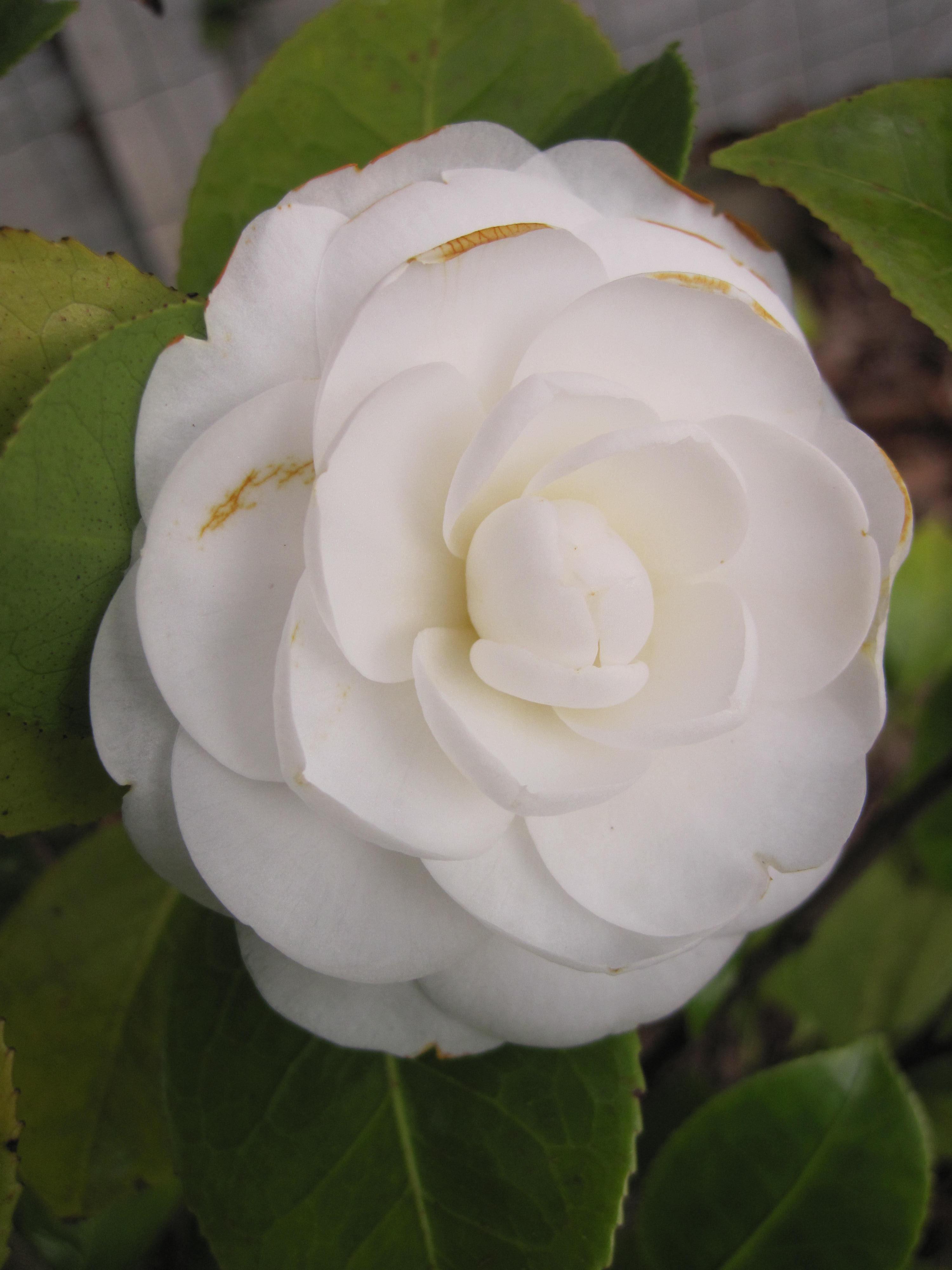 Enfin pour compléter cet article, voici mon camellia sasanqua Rainbow à fleur blanche marginée de rose vif, simple et parfumée.