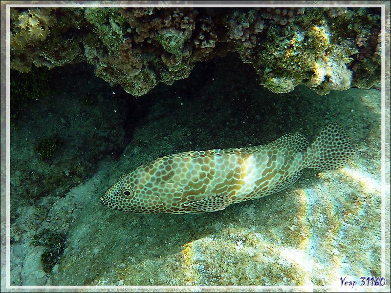 Mérou gâteau de cire ou Loche rayon de miel, Honeycomb grouper (Epinephelus merra) - Jardin de corail - Motu Tautau - Taha'a - Polynésie française