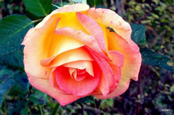ap04---Belle-rose.JPG