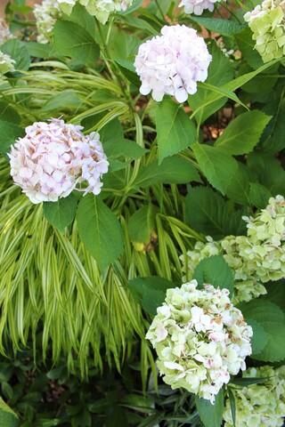 hydrangea macrophylla 'Mme Emile Mouillère'