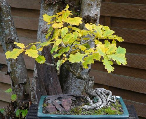 Chêne en bonsai