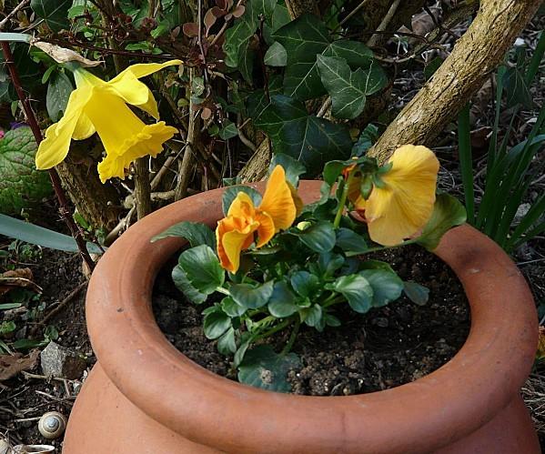 Jonquille-et-pensees-5-03-2011-016.jpg