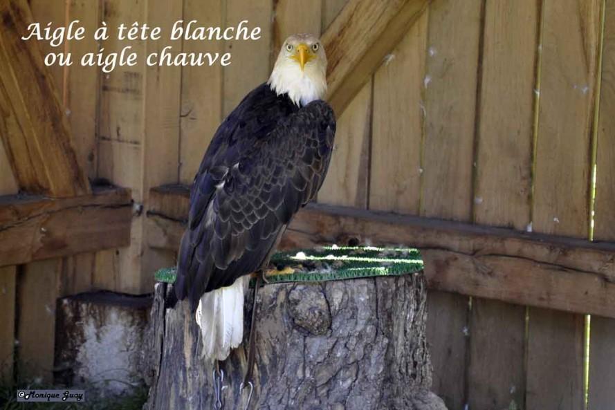 DSC7477-aigle-à-tête-blanc