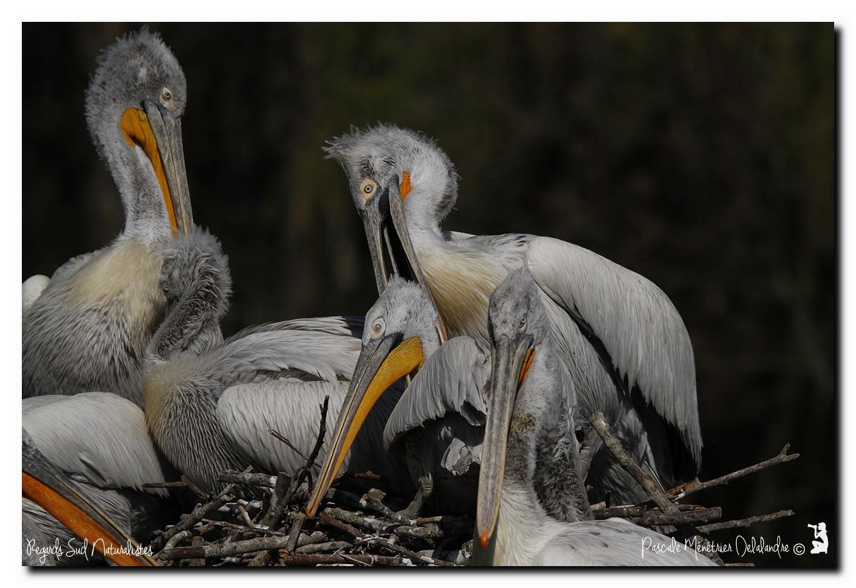 Accouplement de Pélicans frisés