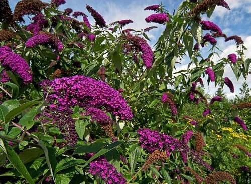 Fleurs cultivées : B