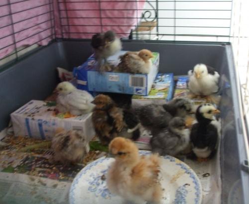 Photos de mes poulettes