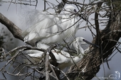 Accouplement d'Aigrette garzette