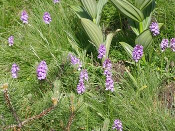 Un parterre d'orchidées (orchis tacheté)