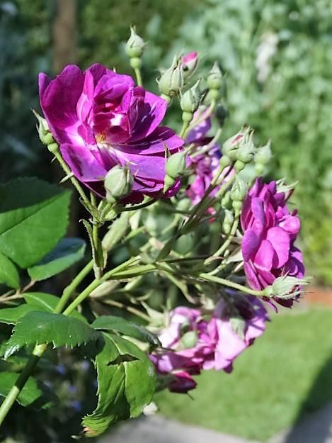 L'allée de roses
