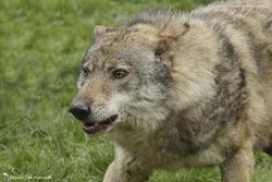 Loups de Courzieu