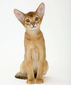Les races de chats !