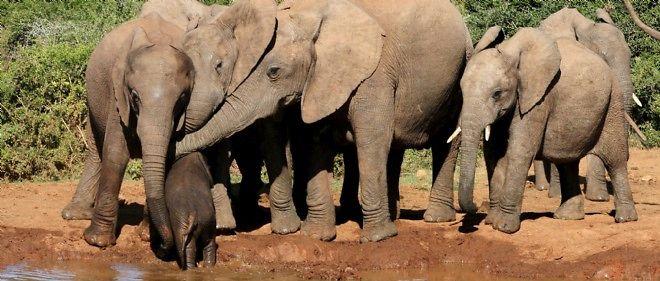 L'éléphant en Afrique va disparaître