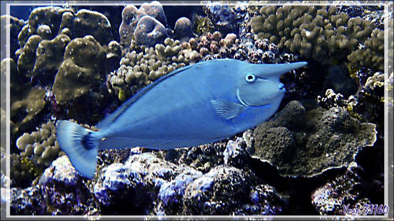 Nason pointillé ou Nasique, Spotted unicornfish or Long-nose unicornfish (Naso brevirostris) - Passe Tumakohua - Fakarava sud - Tuamotu - Polynésie française