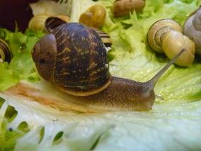 L'élevage d'escargots