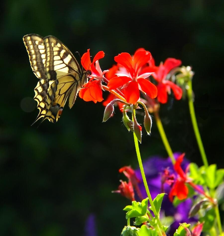 Papillon...!!