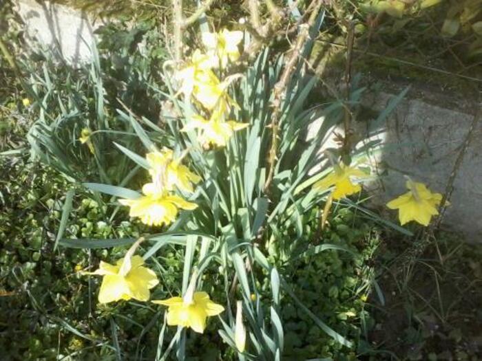 mes premières Narcisses
