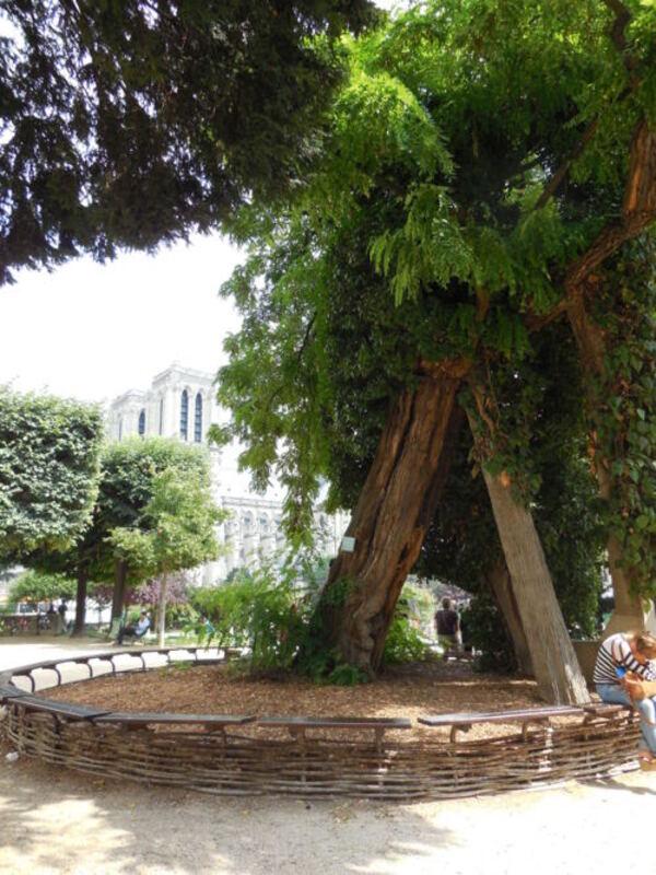L' acacia