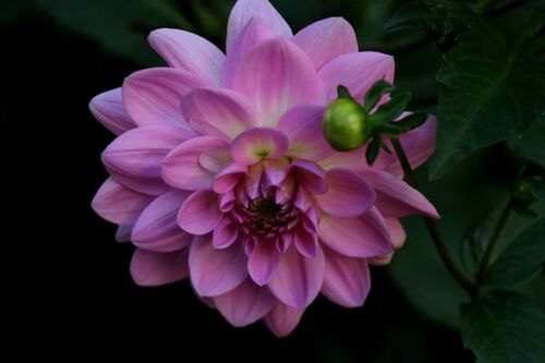 Dahlias : Ocean Bird
