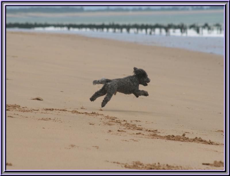 Titi Falcon ,le caniche volant