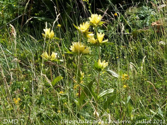 Gentiana burseri subsp. burseri - gentiane de Burser