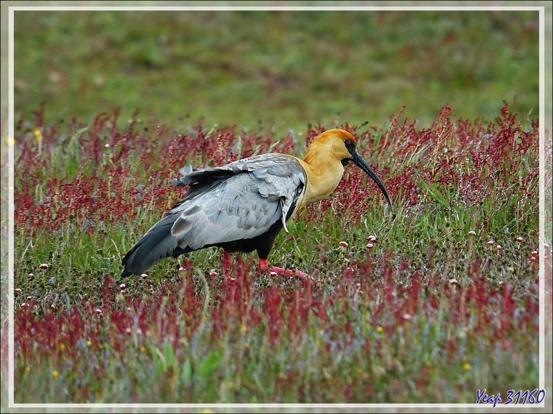Ibis à face noire, Black-faced ibis, Bandurria austral (Theristicus melanopis) - Estancia Cristina - Lago Argentino - Patagonie - Argentine