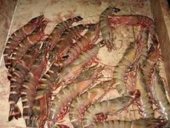 crevettes grosses