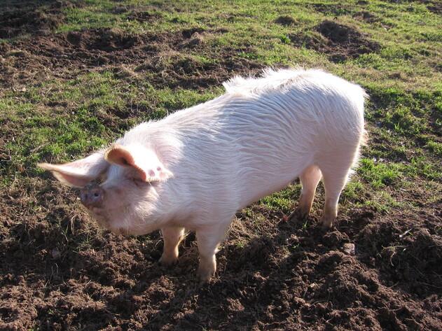 Cochon de Poul-Fetan Keriadenn