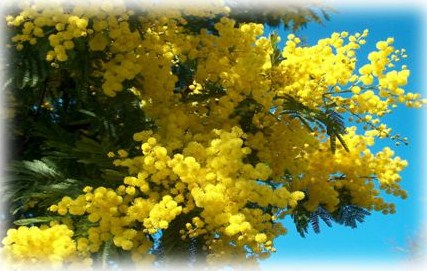 Le mimosa en chansons