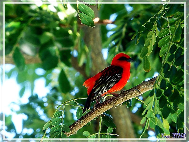 Foudi rouge, Cardinal (Foudia madagascariensis) mâle - Nosy Be - Madagascar