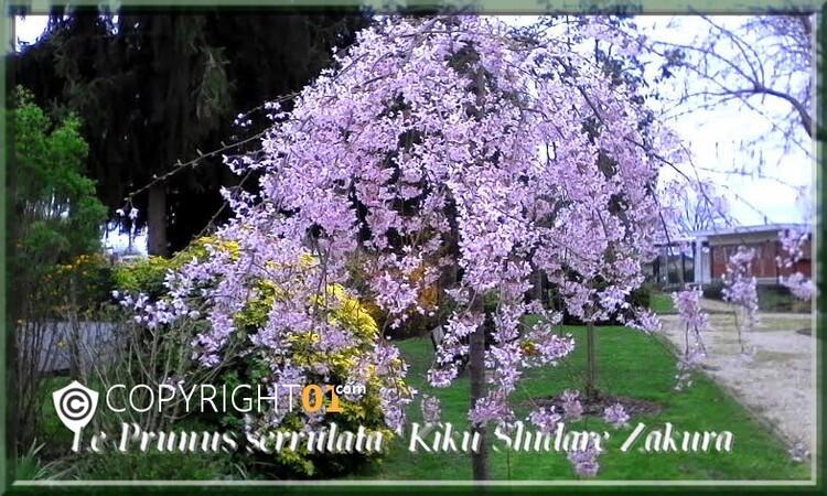des arbustes de printemps  dans mon jardin,le forsythia,et la spirée,corethe du japon