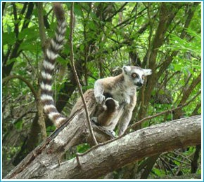 Sifaka de Madagascar