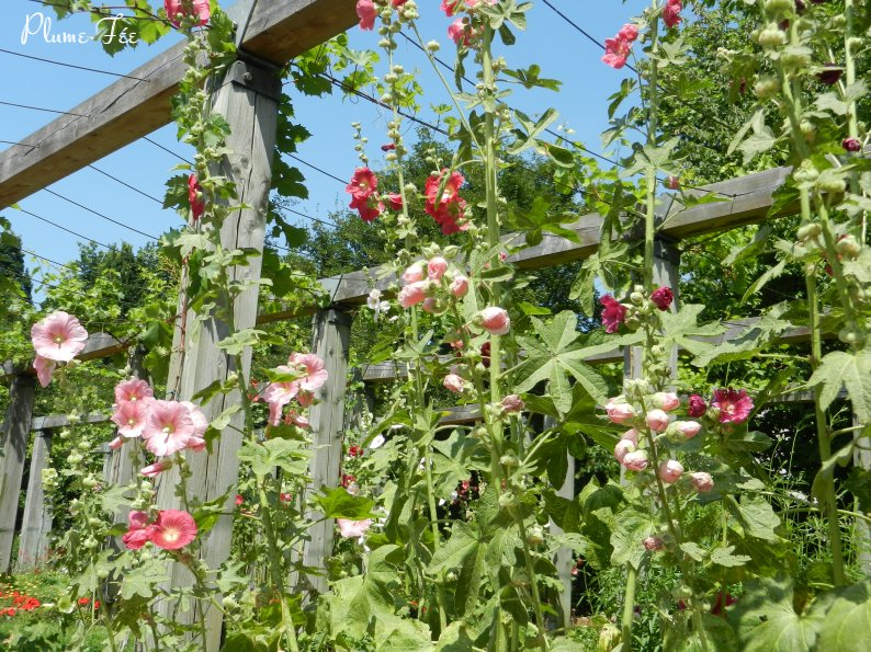 Roses tr mi res ma plume f e dans paris - Planter des roses tremieres ...