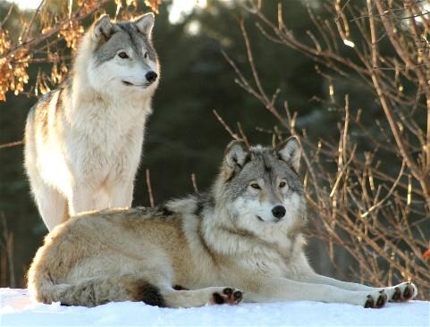 Couple de loups 01