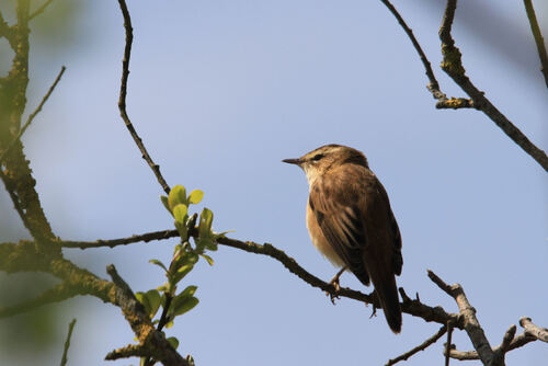 Phragmite des Joncs (Sedge Warbler)