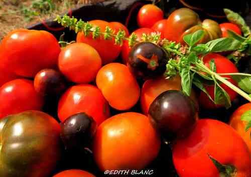 photo de tomates que je cultive