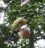 Papagei am Küchenbalkon