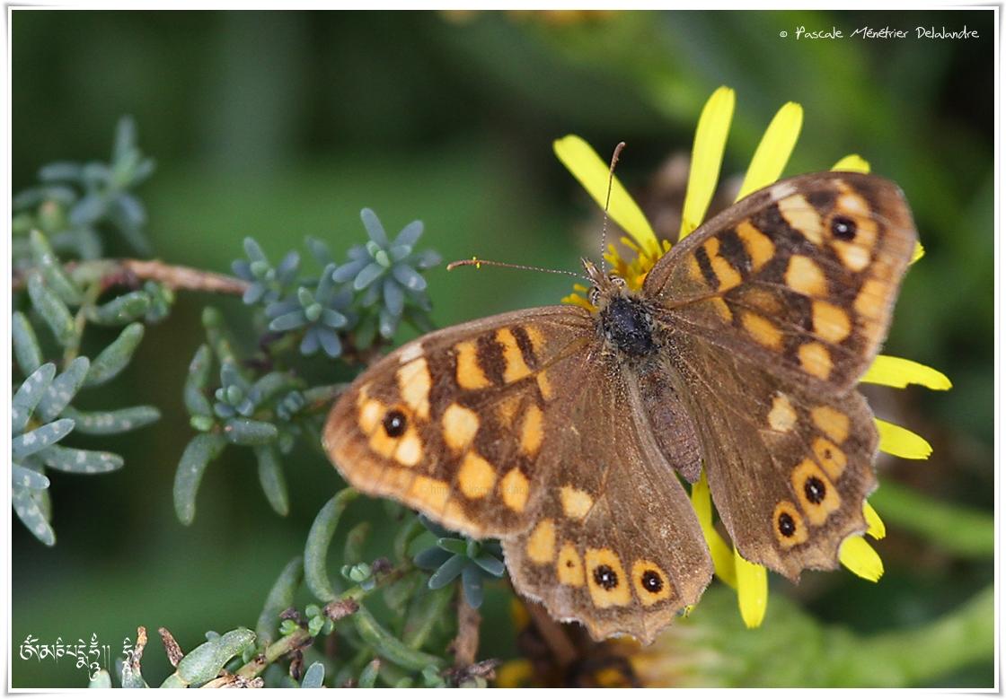 Pararge aegeria - Tircis - Nymphalidae