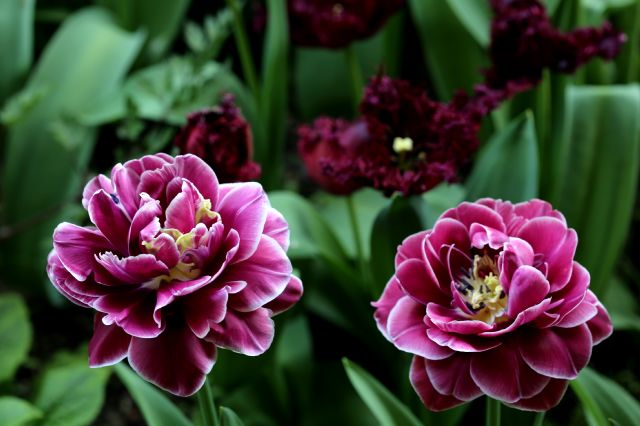 Tulipes 2018 : Dream Touch