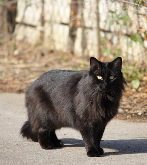3 bonnes raisons d'adopter un chat noir