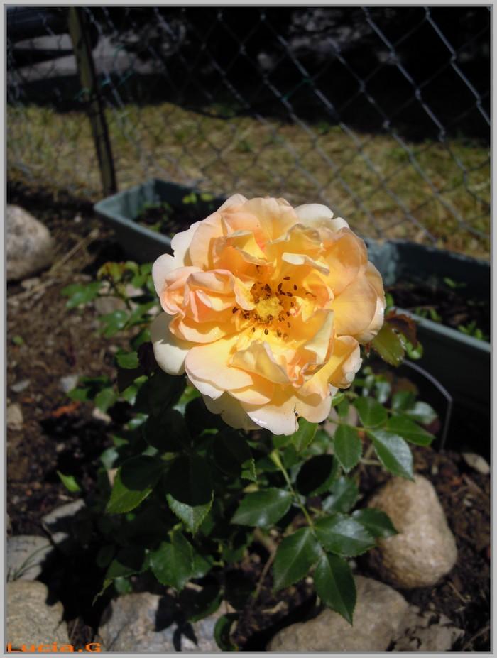 1ere rose