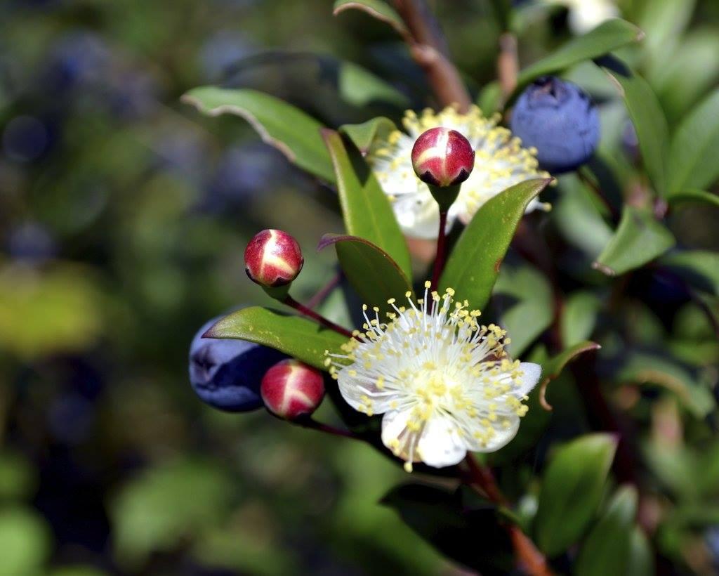 2-Myrte Myrtus communis - Yantra